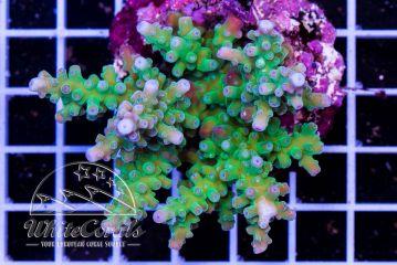 Acropora echinata Bali Green