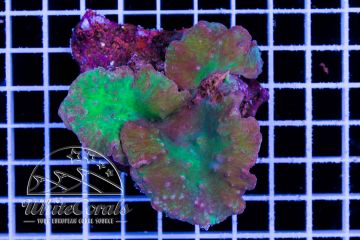 Sinularia brassica