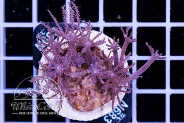 Anthelia glauca