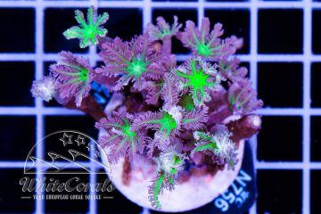 Clavularia Green