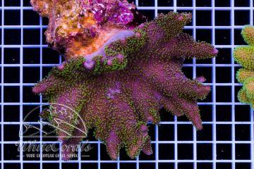 Sarcophyton Aussie Green Polyp