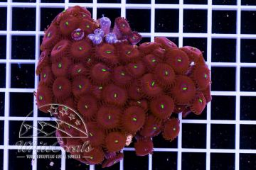 Zoanthus Red People Eater