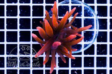 Entacmaea quadricolor Red (DNZ)