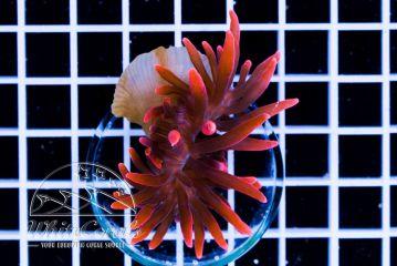 Entacmaea quadricolor Super Red (DNZ)