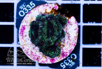 Acanthastrea Stardust Green