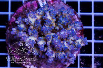 Acropora tenuis White and Blue