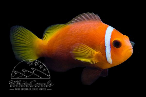 Amphiprion nigripes - Maldive anemonefish