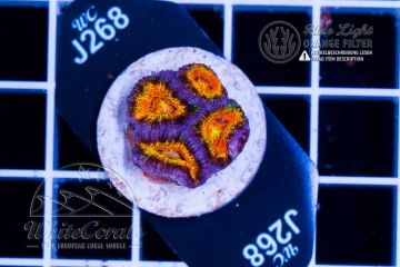 Acanthastrea Rainbow Tiger (Filter)