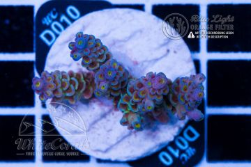 Acropora tenuis Dirty Insanity (Filter)