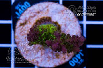 Acropora anthocercis Tierra del Fuego (Filter) (F1)