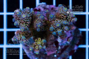 Acropora tenuis Purple Disney