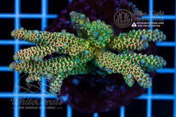 Acropora tenuis Homewrecker