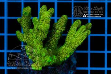 Acropora millepora Lime