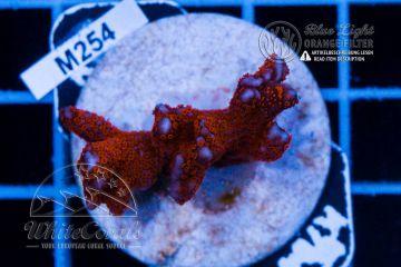 Montipora sarmentosa Red