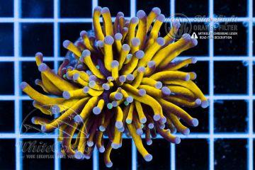 Euphyllia glabrescens Golden Torch 24k