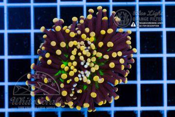 Euphyllia glabrescens Joker