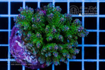 Acropora subulata