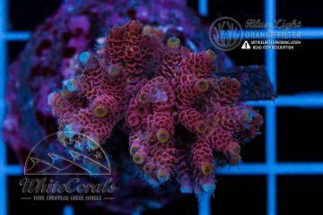 Acropora hyacinthus