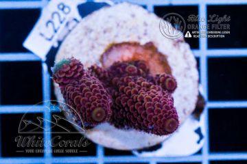 Acropora spathulata Purple