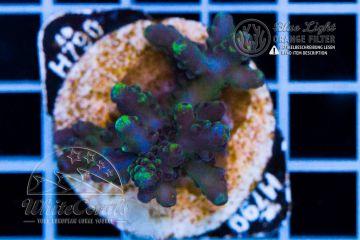 Acropora loripes Blue