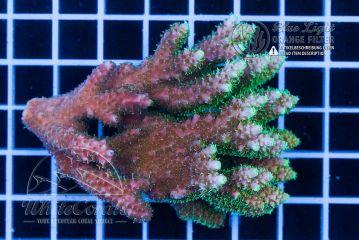 Acropora insignis (Filter)