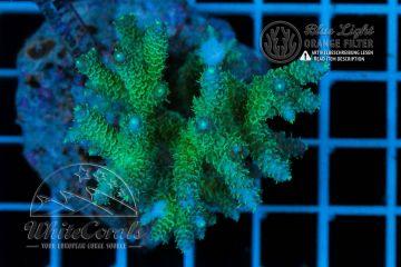 Acropora millepora Blue Tip