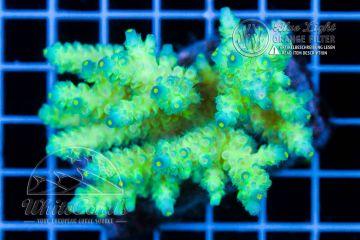 Acropora tenuis Blue Tips
