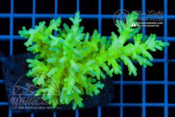 Acropora caroliana
