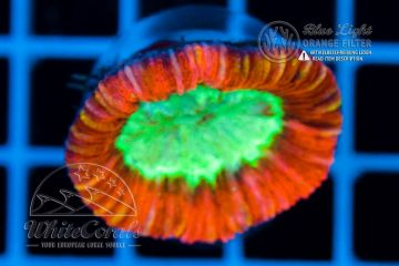 Trachyphyllia Red (Filter)