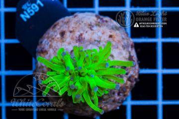 Euphyllia glabrescens Green Lantern (DNZ) (Filter)