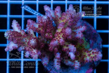 Acropora rosaria Multicolor