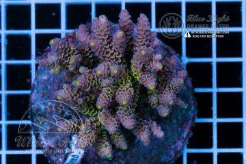 Acropora tenuis Walt Disney (Filter)
