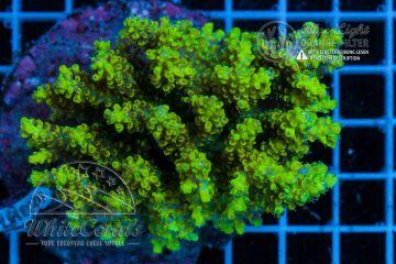 Acropora cytherea Bali Shortcake (Filter)