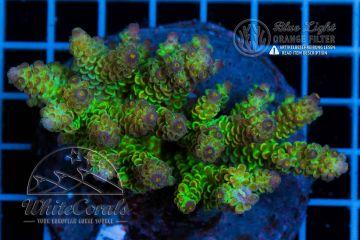 Acropora tenuis (Filter)