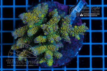 Acropora tenuis Homewrecker (Filter)