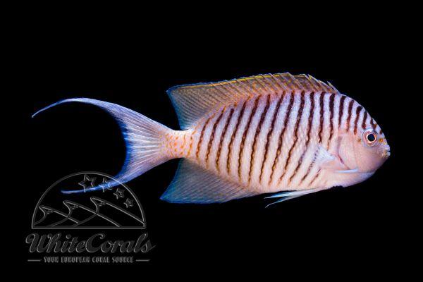 Genicanthus melanospilos - Pazifischer Zebrakaiserfisch Männchen