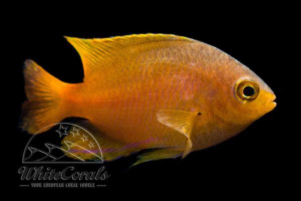Pomacentrus moluccensis - Lemon damsel