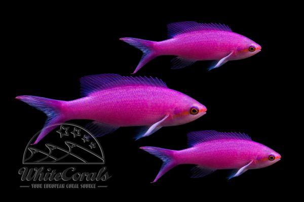 Pseudanthias tuka - Yellowstriped fairy basslet (3-pack)