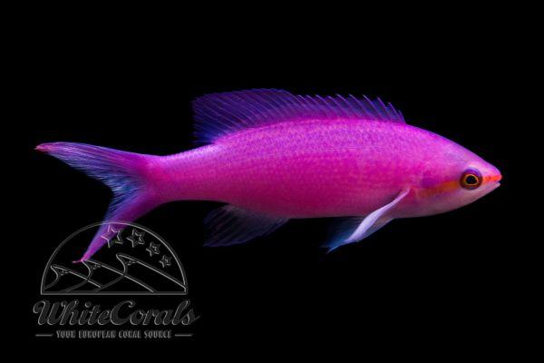 Pseudanthias tuka - Yellowstriped fairy basslet