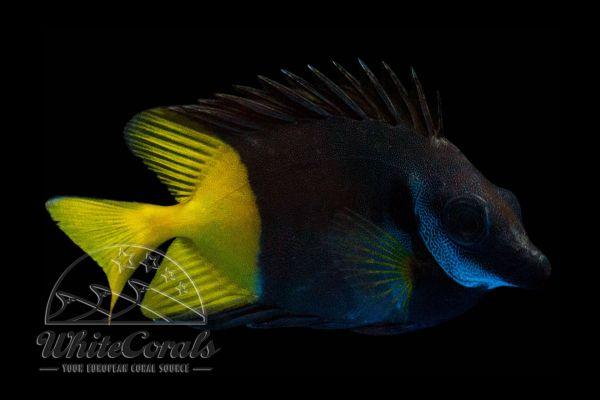Siganus uspi - Zweifarben-Fuchsgesicht Fidschi