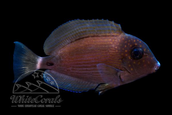 Acanthurus maculiceps - Spot Face Surgeonfish