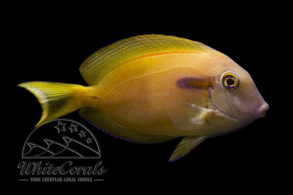 Acanthurus olivaceus - Orangespot surgeonfish (Hawaii)