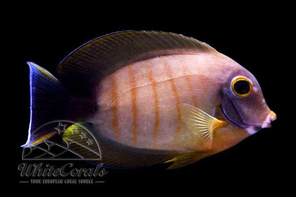 Acanthurus pyroferus - Mimikry-Doktorfisch (Eibli Mimikry)