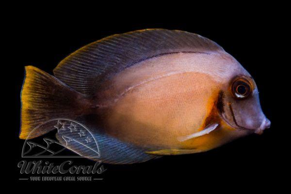 Acanthurus pyroferus - Schokoladen- oder Mimikry-Doktorfisch (adult)