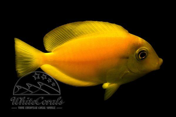 Acanthurus pyroferus (juv) - Chocolate surgeonfish