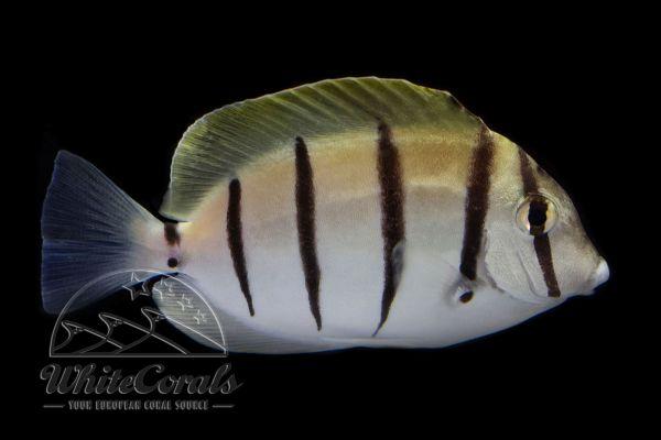 Acanthurus triostegus - Gitter-Doktorfisch