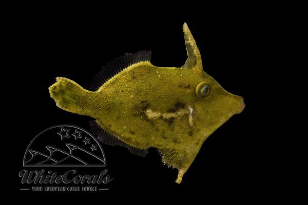 Acreichthys Tomentosus -Seegrasfeilenfisch Tangfeilenfisch