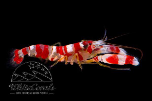 Alpheus randalli - Red Banded Pistol Shrimp