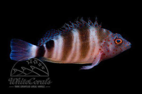 Amblycirrhitus pinos - Redspotted Hawkfish