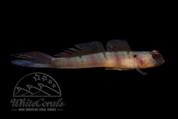 Amblyeleotris diagonalis - Diagonal Shrimp Goby